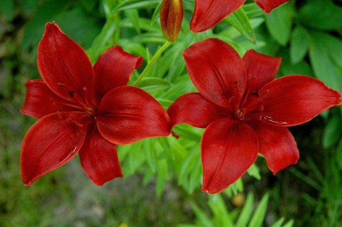 Когда и как сажать лилии