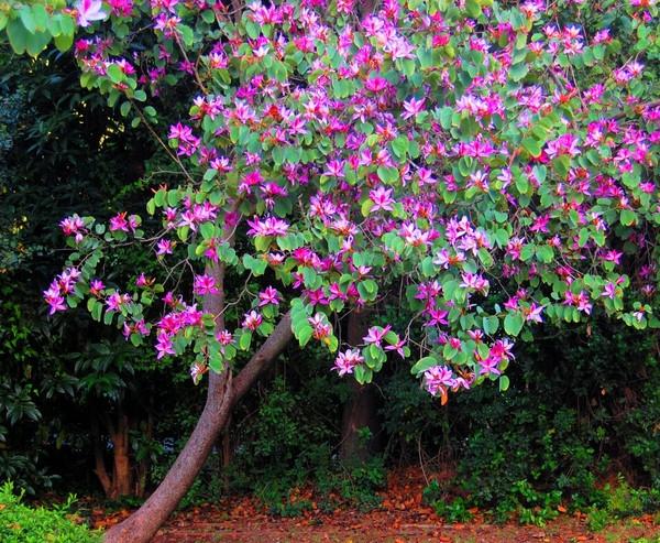Баухиния - «орхидейное дерево»