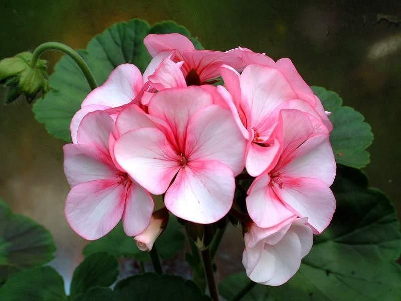 Цветы герань как ухаживать за