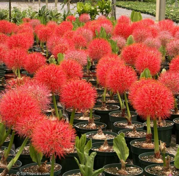 Гемантус уход и выращивание 26