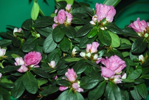 Амелия цветок уход