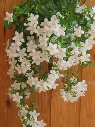 Цветущие вьющиеся цветы комнатные