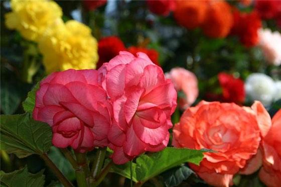 Роза 28
