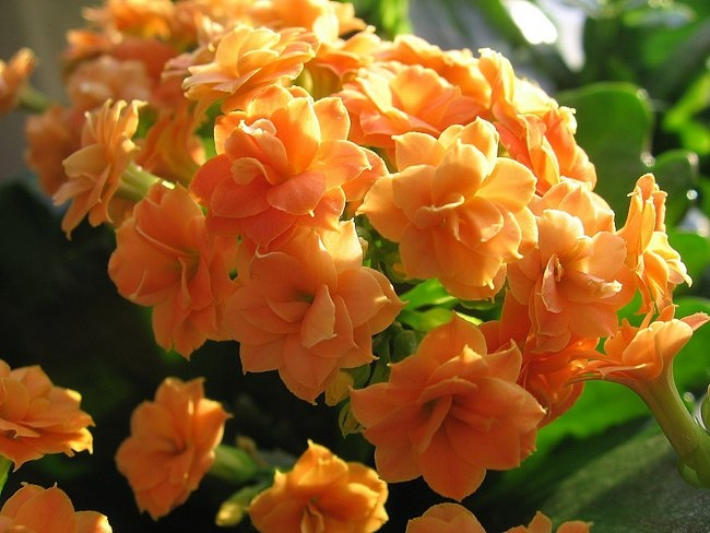 Каланхоэ цветущий - уход в домашних условиях, размножение 97