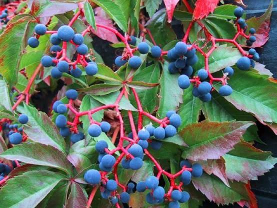 Девичий виноград: природные