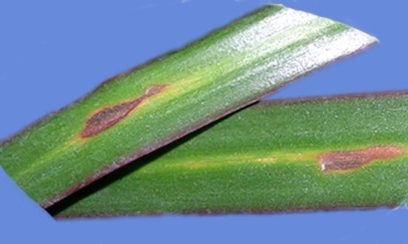 Драцена: коричневые пятна на листьях