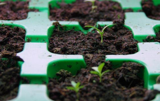 Эустома выращивание в домашних условиях
