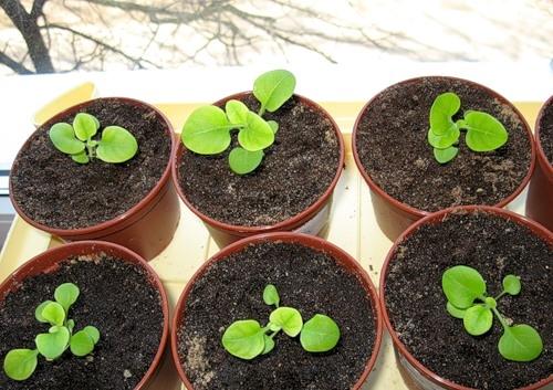 Сколько семечек бальзамина посадить на рассаду в один горшочек 19