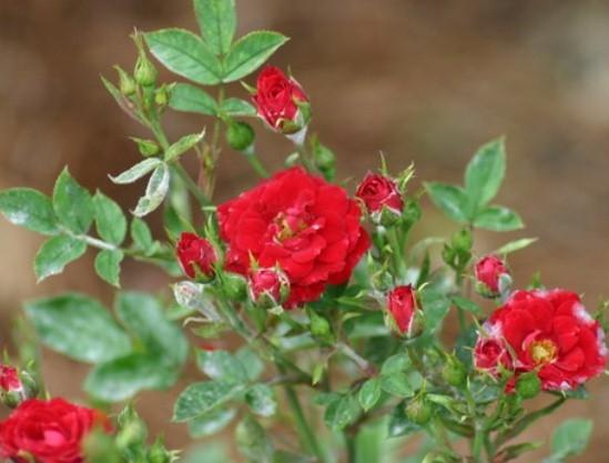 Роза микс мини уход в домашних условиях