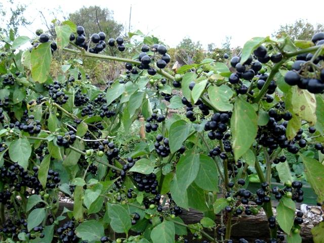 Полезные свойства и выращивание Санберри LS