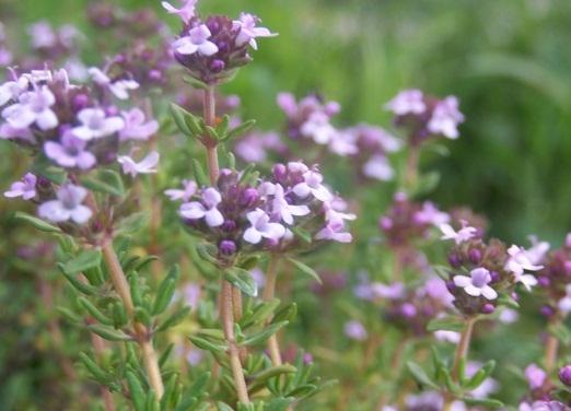Богородская трава полезные свойства