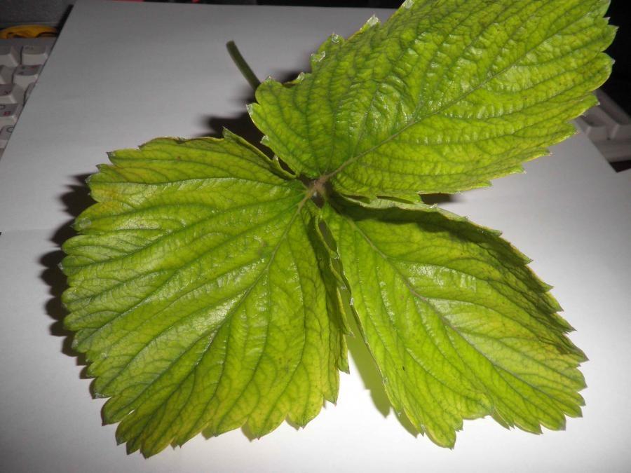 Клубника после зимы листья картинки