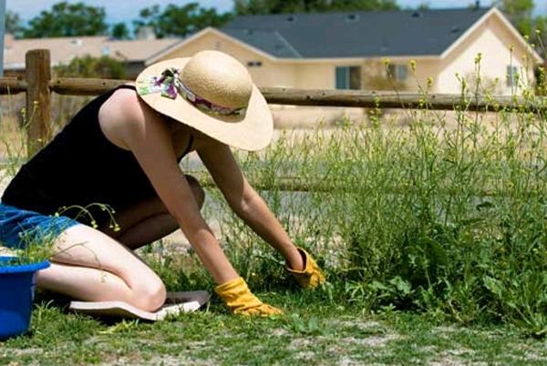 Борьба с осотом на огороде
