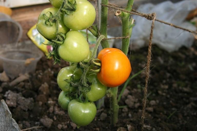 Как формировать помидоры в теплице?