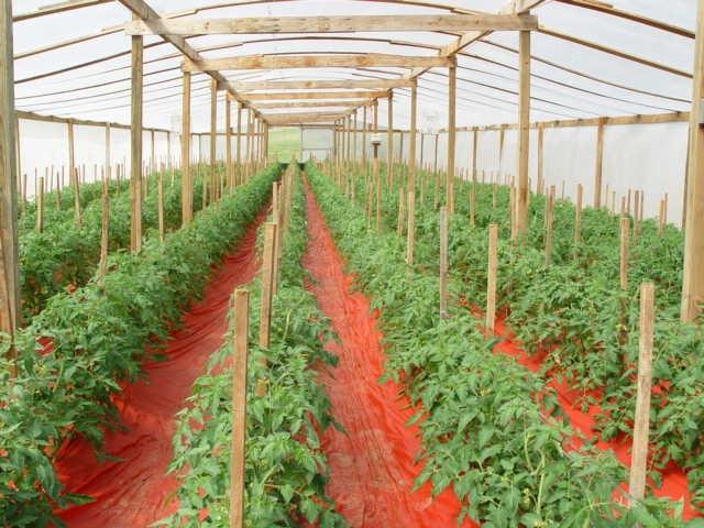 Подвязка помидор в теплице: способы