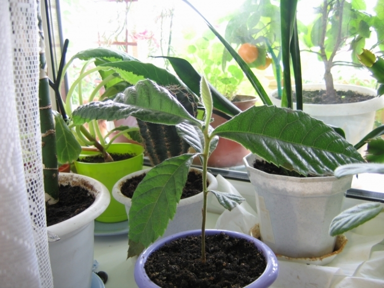 Что посадить из косточки в домашних условиях 309