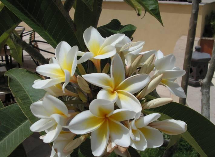цветы фото фикус