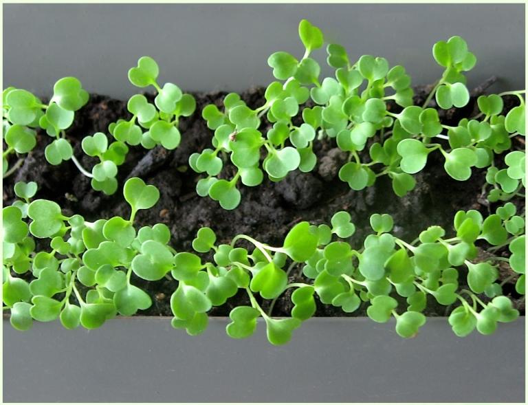 Рукола и выращивание 80