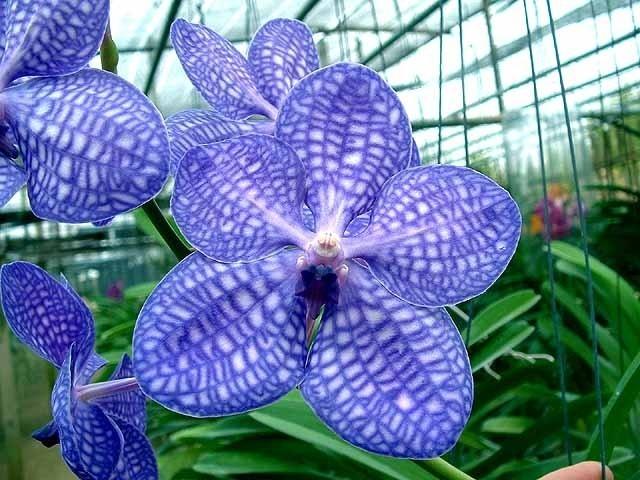 Ванда цветок