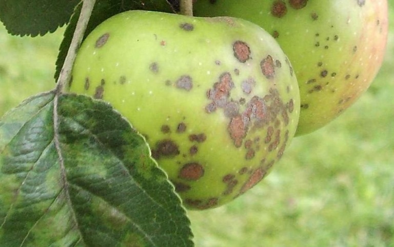пораженные плоды яблони