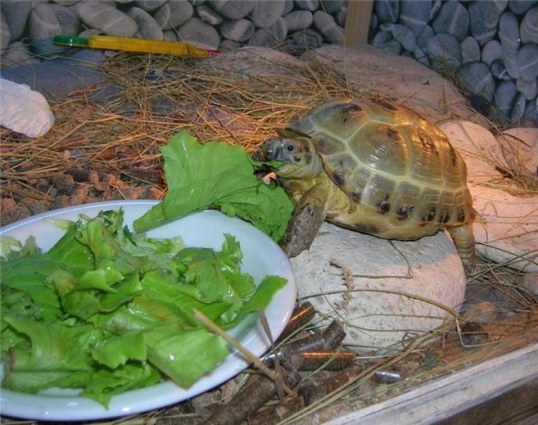 Чем кормить черепаху морскую в домашних условиях