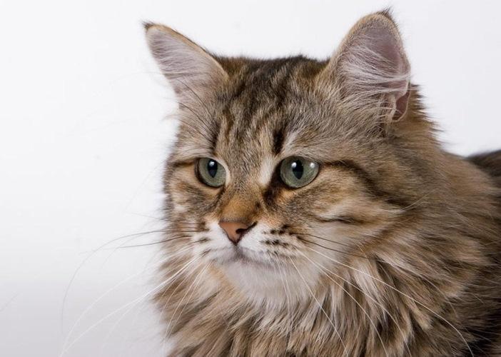 Кошка невская маскарадная фото черная