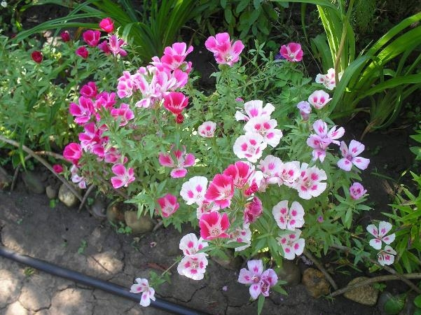 Годеция: выращивание из семян