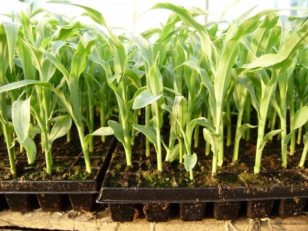 После кукурузы можно сажать