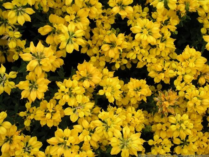 Высокие желтые цветы похожие на георгины