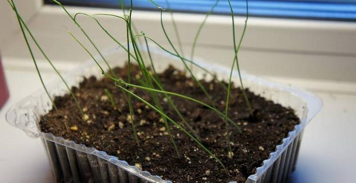 Как вырастить лук порей из семян?