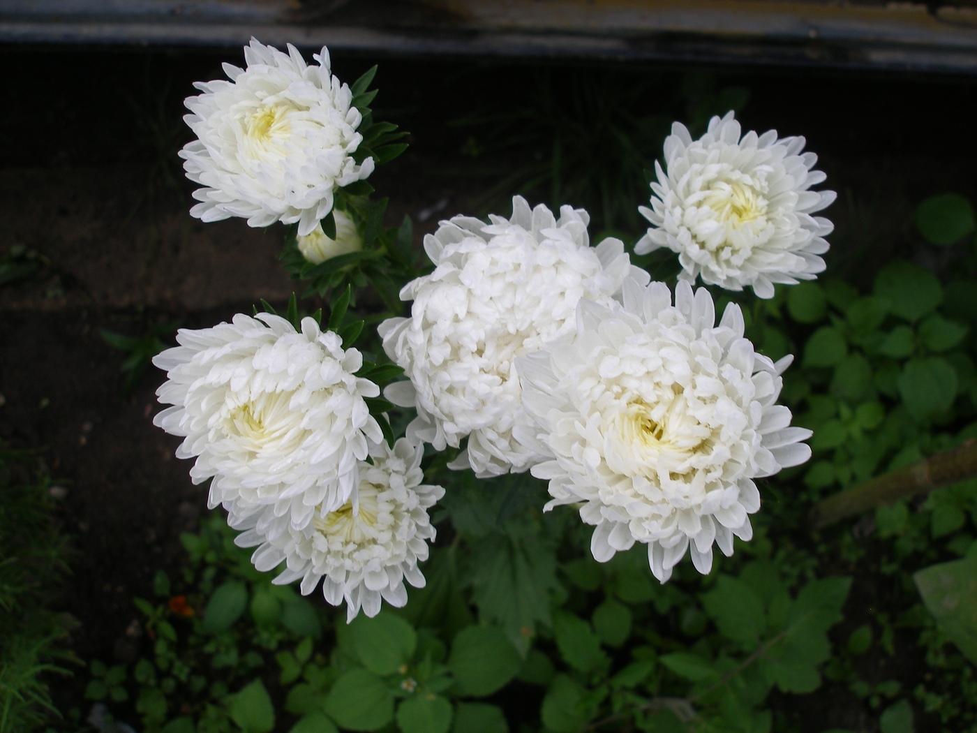 Цветы герань уход в домашних условиях