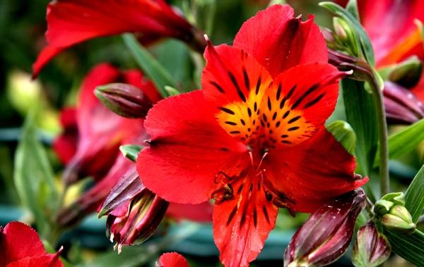 цветы красного цвета фото и названия