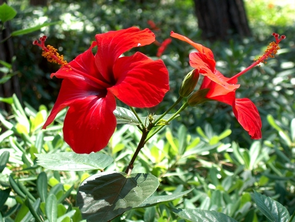 Садовый цветок красный
