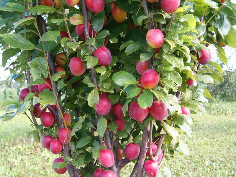 низкорослые плодовые деревья для сада фото и названия иногда