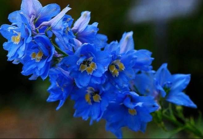 Цветы синего цвета: названия и фото