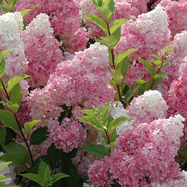 Цветущие кустарники для дачи фото