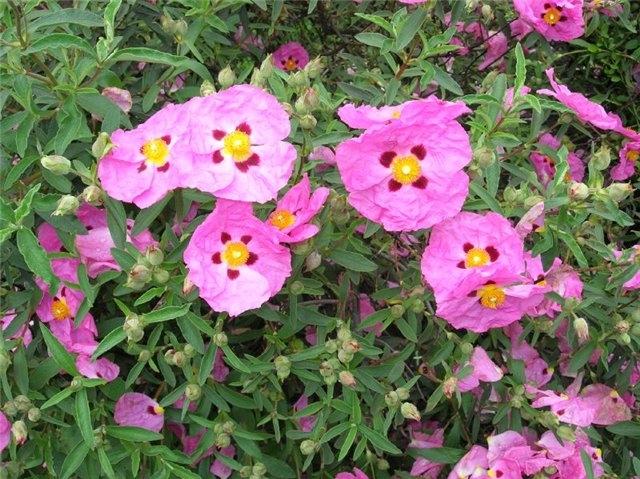 Кустарники цветущие все лето: список