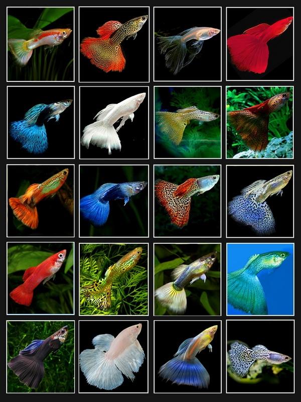 все названия аквариумных рыбок с картинками менеджером, узнали