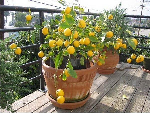 Чем подкармливать лимон в домашних условиях 94