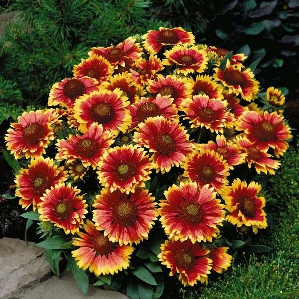 Выращивание однолетних и многолетних цветов 9527
