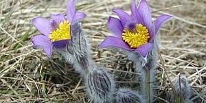 Прострел цветок выращивание из семян