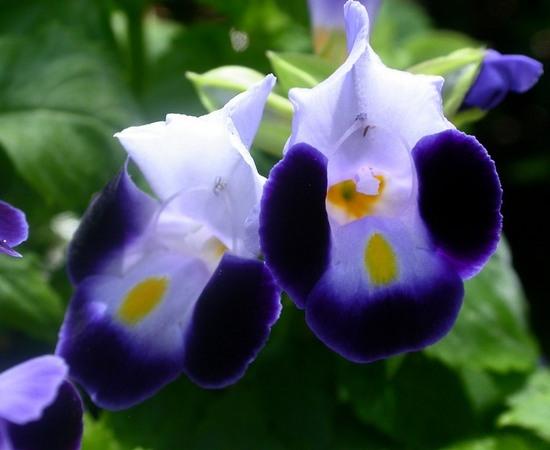 Торения: выращивание из семян и уход