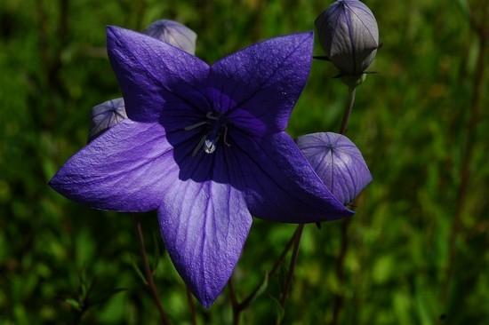 Платикодон: выращивание из семян, высадка рассады