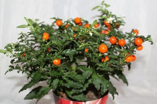 Паслен: выращивание и уход в домашних условиях