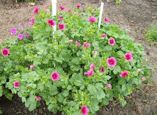Цветы малопа выращивание 3