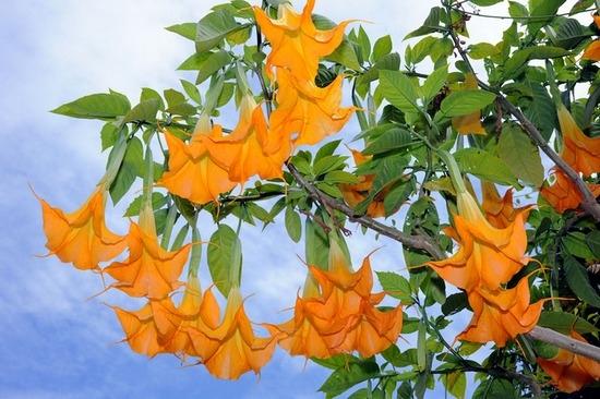 Датура махровая: фото цветка