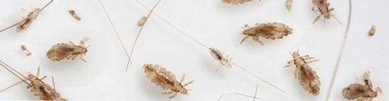 Вши: как избавиться от головных и бельевых видов паразита, LS