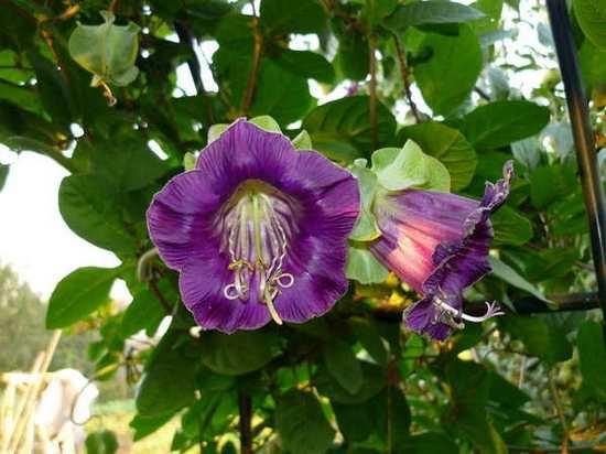 Все о цветке кротон 75