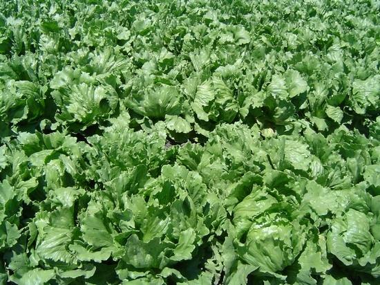 Выращивание салата Айсберг в открытом грунте и уход за ним