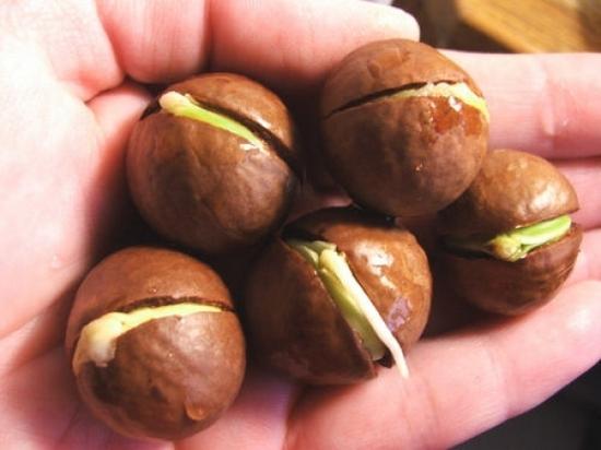 Саженцы ореха Орехоплодный питомник 63